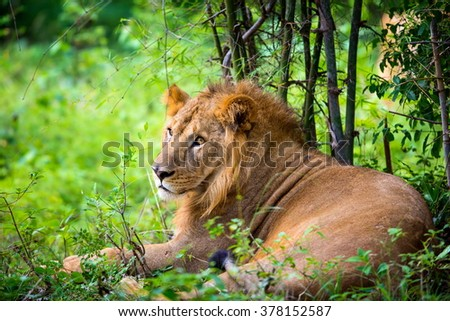 Asiatic Lion in a national park in India. These national treasures are now being protected, but due to urban growth they will never be able to roam India as they used to.  - stock photo