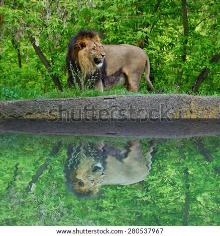 Asiatic lion (Panthera leo persica) - stock photo