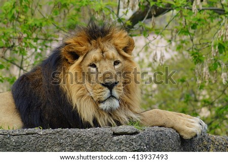 Asiatic lion (Panthera leo persica) - threatened species - its population counts about 400 units in the national park in India - stock photo