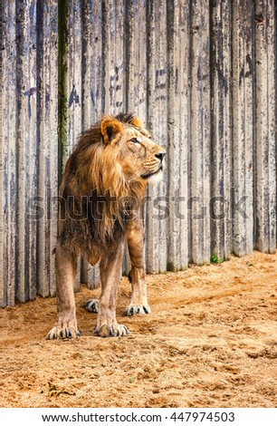 Asiatic Lion, portrait of the king of beasts  - stock photo