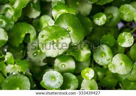 Asiatic Pennywort and water drop, Centella asiatica  nature herb with hard light  - stock photo
