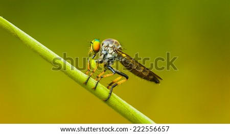 Asilidae (robber fly) sits on a blade of grass with prey. Thailand - stock photo