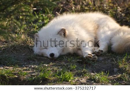 Asleep - Arctic fox - stock photo
