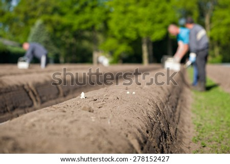 Asparagus in spring growing out of the sand bed, with in the background people working in the farm field, harvesting this white summer vegetable, in Breda, Netherlands - stock photo