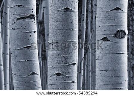 Aspen bark - stock photo