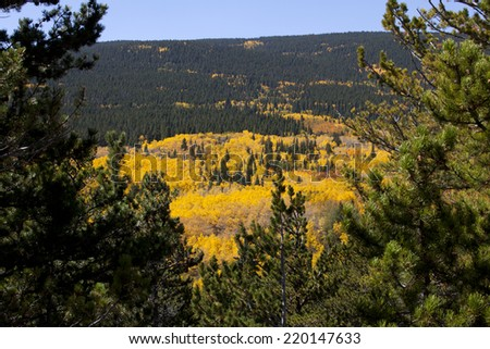 Aspen Covered Mountain in Full Colors Framed by Pine Trees - stock photo