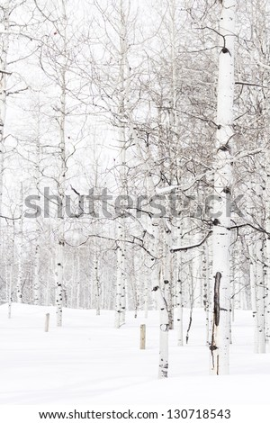 Aspen forest covered in fresh snow. - stock photo