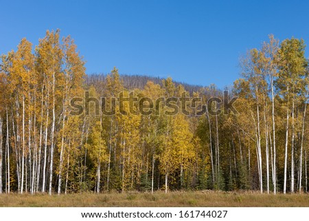 Aspen Grove - stock photo
