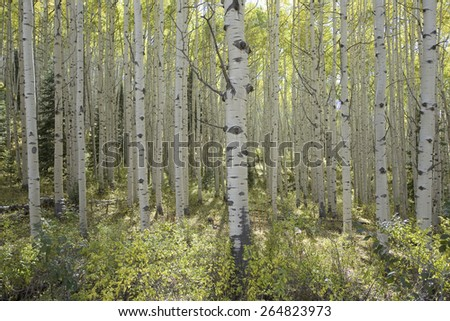 Aspen grove in autumn near Telluride Colorado - stock photo