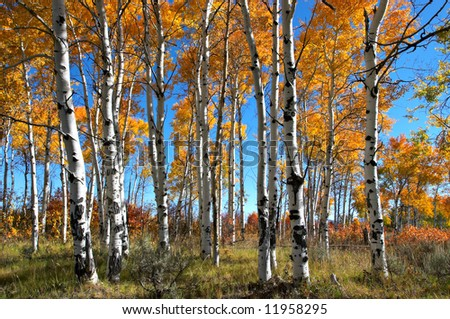 Aspen Grove in the Grand Teton National Park, Wyoming - stock photo