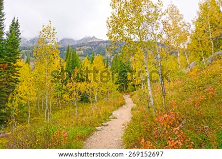Aspen in Fall Colors on the Jenny Lake Trail in Grand Tetons National Park in Wyoming - stock photo