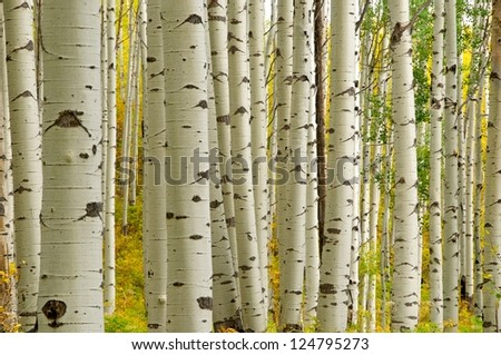 Aspen Tree - stock photo