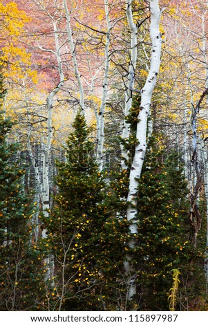 Aspen Tree Growing through some Pines Dusted with Yellow Leaves - stock photo