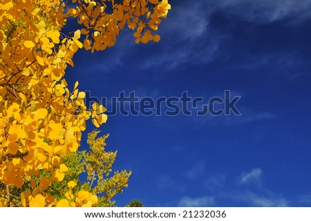 Aspen Tree leaves in the Pike National Forest of Colorado with white fluffy clouds in a deep blue sky - stock photo