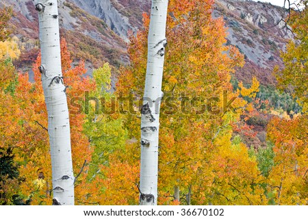 Aspen trees in the fall - stock photo