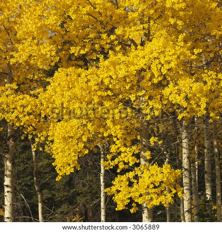 Aspen trees in yellow fall color in Wyoming. - stock photo