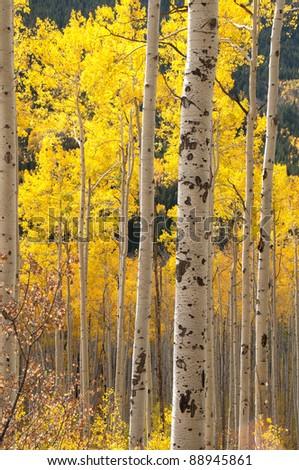 Aspen Trees near Aspen Colorado 101 - stock photo