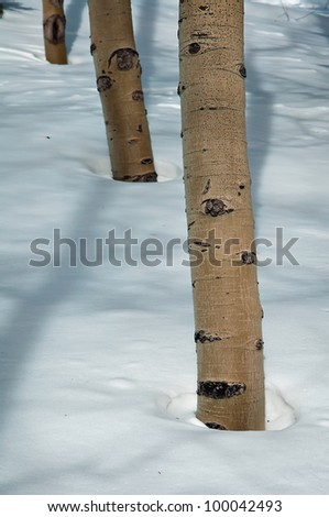 Aspen Trees Surrounded By a Blanket of New Snow - stock photo
