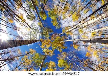 Aspen treetops from seen by fish-eye lens from down below - stock photo
