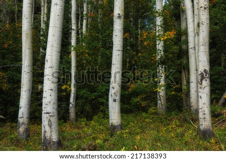 Aspen trunks at ground level with green oak brush starting to turn orange and yellow in the Wasatch mountains in Utah USA./ Close Up Aspens  - stock photo