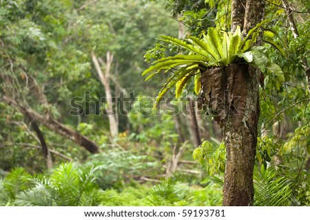 Asplenium nidus epiphyte tropical fern on tree trunk, sumatra - stock photo