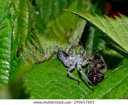 Assassin bug eating a Japanese Beetle, predator & prey - stock photo