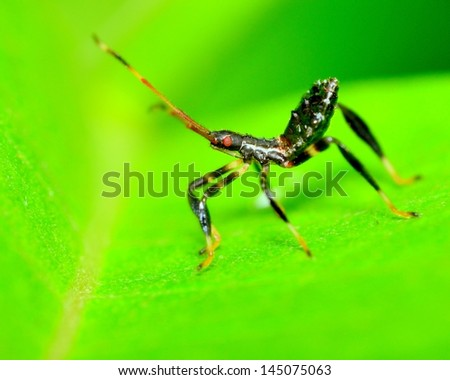 Assassin Bug nymph perched on a plant leaf. - stock photo