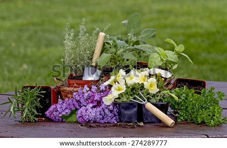 Assortment of different types of Herbs ready to be planted in garden while sitting on picnic table - stock photo