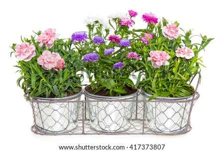 Aster and Dianthus flowers potted in metal flowerpots on white. - stock photo