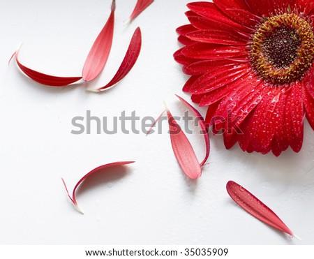 Aster flower - stock photo