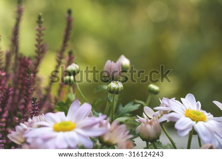 aster flowers and buds  - stock photo