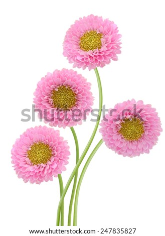 Aster pink flowers isolated on white background - stock photo