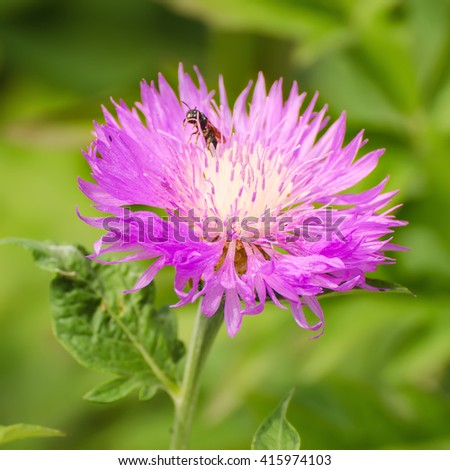 Aster violet flower growing in the garden, natural outdoor floral seasonal background - stock photo
