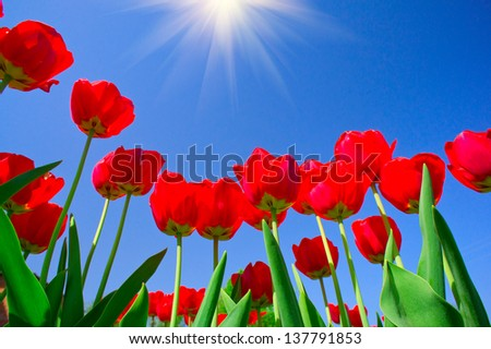 Astonishing beams above  image of blooming tulips. - stock photo