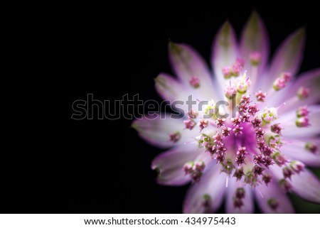 Astrantia, flower, close-up, macro. - stock photo