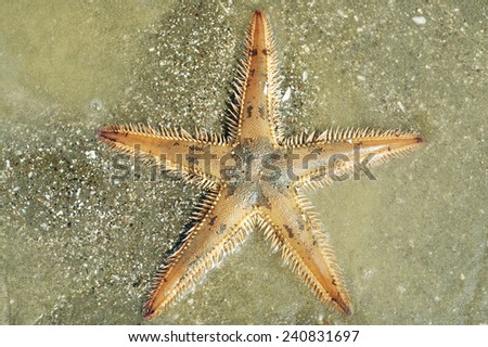 Astropecten spiny sea star on silty bottom - stock photo