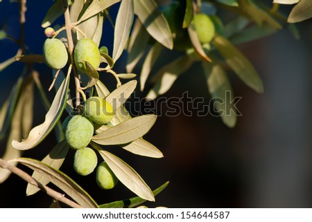 At Mediterranean & Aegean; olive is gold. It's a CULTURE. A culture only who lives it, will fully understand the beauty and importance. - stock photo
