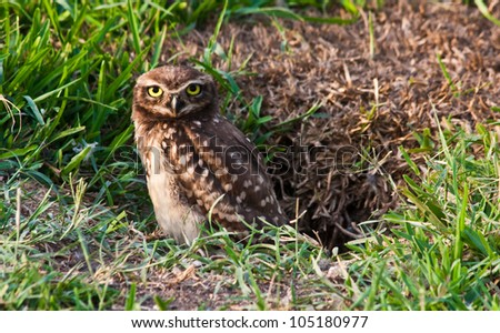 Athene cunicularia stand at the underground nest - stock photo