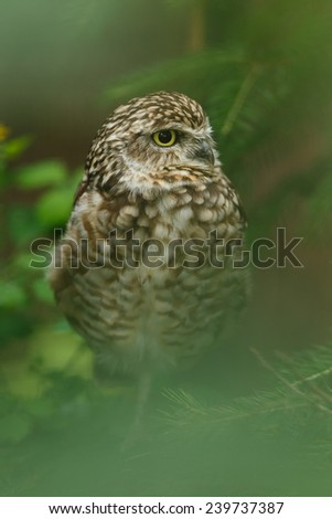 Athene noctua. Little owl at forest.   - stock photo