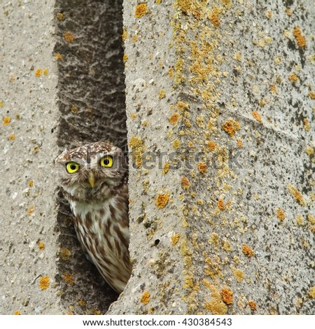 Athene noctua-little owl hiding in cement pillar - stock photo