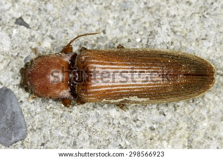 Athous sp. beetle - stock photo