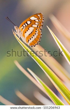 Athyma perius butterfly on the top of dracaena leaf - stock photo