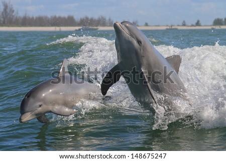 Atlantic Bottlenose Dolphin - Tursiops truncatus - stock photo