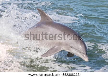 Atlantic Bottlenose Dolphins - Tursiops truncatus  - stock photo