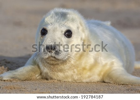 Atlantic Grey Seal pup - stock photo