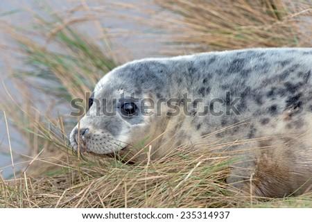 Atlantic Grey Seal Pup on Sandy Beach/Atlantic Grey Seal Pup/Atlantic Grey Seal Pup (halichoerus grypus) - stock photo