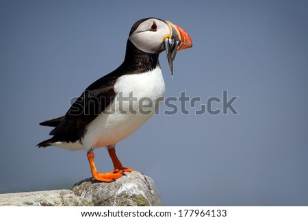 Atlantic Puffin (Fratercula arctica) stood on cliff top with sand eels in its beak - stock photo