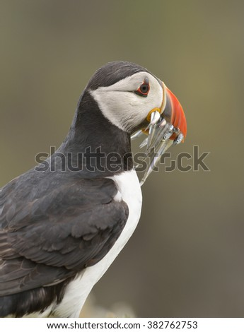 Atlantic Puffin - Fratercula arcticawith Sand Eels - stock photo