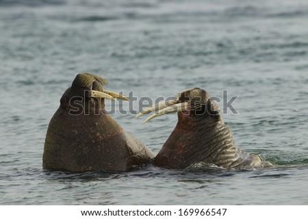 Atlantic Walrus, rosmarus rosmarus, play fighting, Torellneset Beach Svalbard, Norway - stock photo