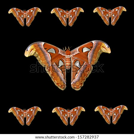 Atlas moth group isolated on black background  - stock photo